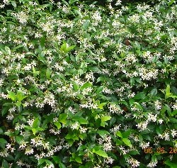 Confederate Jasmine Ground Cover Related Keywords & Suggestions ...