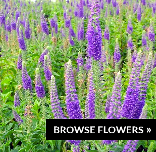 browse-flowers