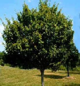 Shade Trees for Energy Savings