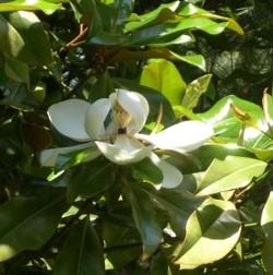 Bracken S Brown Beauty Magnolia
