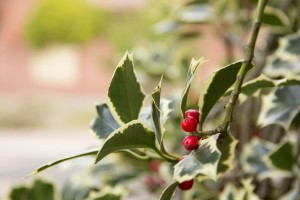 Hutcheson Horticulture Holly