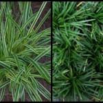 Mondo and monkey grass