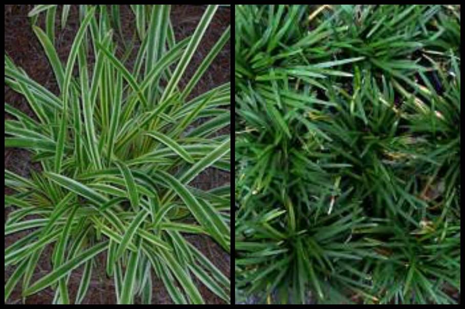 Mondo Grass Vs Monkey Grass At Hutcheson Horticultural