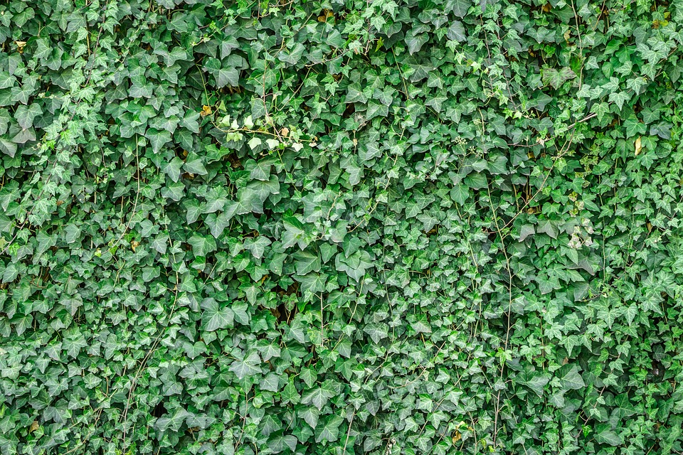 English Ivy Covering A Fence